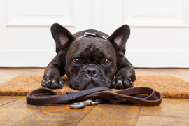 french bulldog dog waiting and begging to go for a walk with owner sitting or lying on doormat